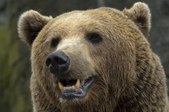 Male brown bear Stock Photo