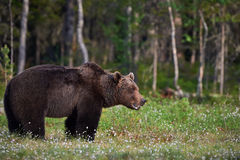 Male brown bear Stock Image