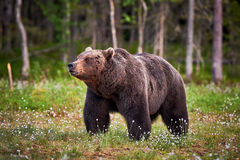 Male brown bear Stock Images