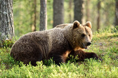 Male brown bear Royalty Free Stock Images