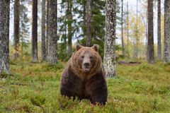 Male brown bear in forest Royalty Free Stock Photo