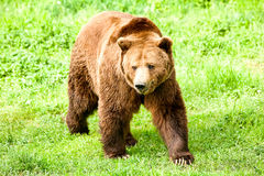 Male Brown Bear Stock Photos