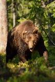 Male brown bear Stock Photos