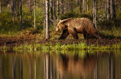 Male brown bear walking by the pond on a sunny summer day. Finland Royalty Free Stock Image