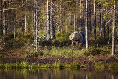 Male brown bear walking by the pond on a sunny summer day. Finland Royalty Free Stock Photo