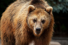 Male brown bear walks arround Stock Images