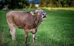 Male brown cattle Royalty Free Stock Image