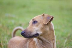 Male brown dog made a sad sight on the natural background of gold, sky and mountains. stock photos