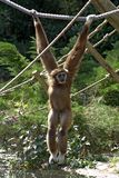 Male brown gibbon. A male brown gibbon ape hanging from a rope over water royalty free stock photos