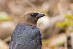 Male Brown-headed Cowbird Royalty Free Stock Images