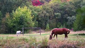 Male brown horse grazing in a meadow between trees on a summer day. stock video footage