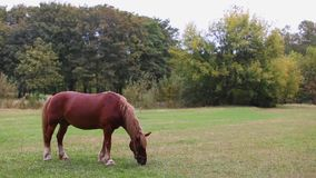 Male brown horse grazing in a meadow between trees on a summer day. stock video