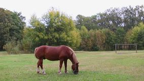 Male brown horse grazing in a meadow between trees on a summer day. stock footage