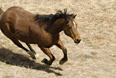 Male Brown Horse Running Stock Photography