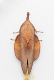 Male of brown lappet moth Royalty Free Stock Photography