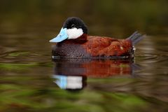 Male of brown Ruddy Duck, Oxyura jamaicensis, with beautiful green and red coloured water surface Royalty Free Stock Photos
