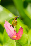Male Brown-throated Sunbird Royalty Free Stock Image