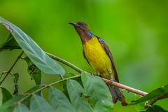 Male Brown-throated sunbird. (Anthreptes malacensis)  on the branch in nature in Thailand Royalty Free Stock Photography