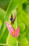 Male Brown-throated Sunbird Stock Image