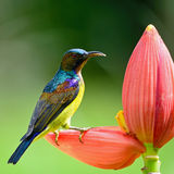 Male Brown-throated Sunbird Stock Photography