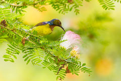 Male Brown-throated Sunbird Royalty Free Stock Photo