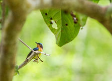 The male brown throated sunbird. The little bird on the tree Royalty Free Stock Image