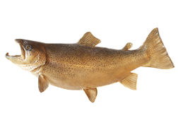 Male Brown Trout Royalty Free Stock Photo