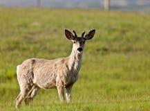 Male Buck deer Royalty Free Stock Photos