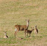 Whitetail buck with other deer Stock Image