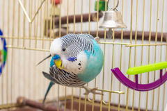 The male budgerigar playing with a bell Royalty Free Stock Photo