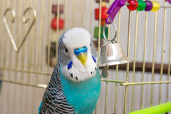 The male budgerigar playing with a bell Royalty Free Stock Images