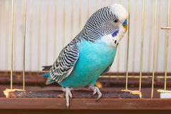 Male budgerigar sitting on the doorstep Stock Image