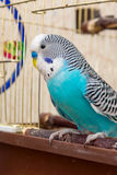 Male budgerigar sitting on the doorstep Stock Photos