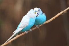 Male budgerigars Stock Images