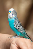 The male budgie sitting on a female hand Stock Photos