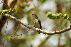 Male buff-bellied flowerpecker Stock Photos
