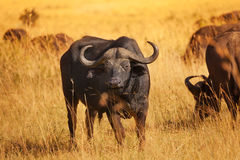Male buffalo bull standing on dry grass plain Stock Photography