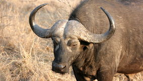 Male Buffalo Close-up Stock Images