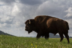 Male buffalo Stock Photo
