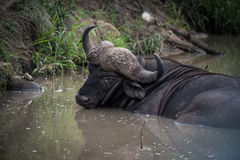 Male Buffalo sitting in water. An old male Buffalo sitting in a stream in South Africa Royalty Free Stock Photography