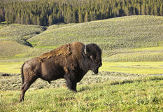 Male Buffalo In Yellowstone Royalty Free Stock Image