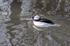 Male Bufflehead duck floats on a calm lake stock photography