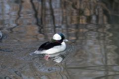 Male Bufflehead duck floats on a calm lake. Close up of a male Bufflehead duck floating on a calm lake in autumn Royalty Free Stock Photo