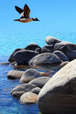 Male Bufflehead Duck Flying Over Water. In Tahoe royalty free stock image