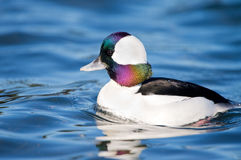 Male Bufflehead Duck swimming in blue water, British Columbia, Canada Royalty Free Stock Photos