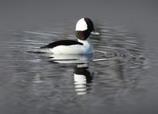 Male Bufflehead Duck on the Water Royalty Free Stock Photography