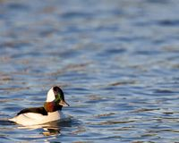 Male bufflehead in early morning royalty free stock photography