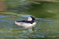 Male Bufflehead swimming Stock Photography