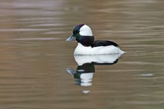 Male Bufflehead swimming on a river in early spring Royalty Free Stock Image