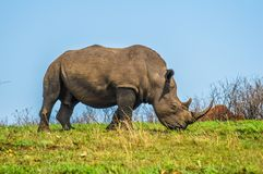 Male bull Cute White Rhino or Rhinoceros in a game reserve in So stock photography